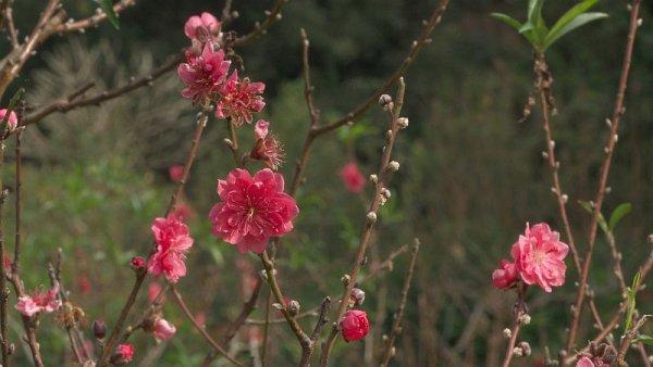 梅は咲いた~桜は未だかいなぁ~。