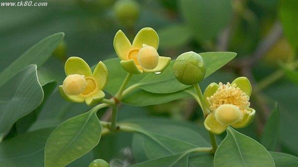 マングローブの花(^○^)