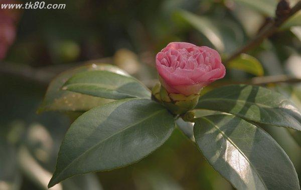 薔薇なのか椿なのか(≧∇≦)/