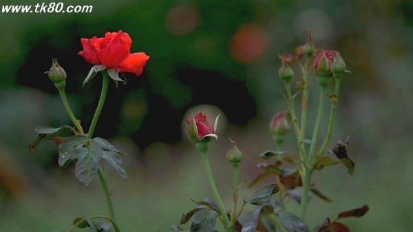 薔薇は終わった~(´;︵;`)