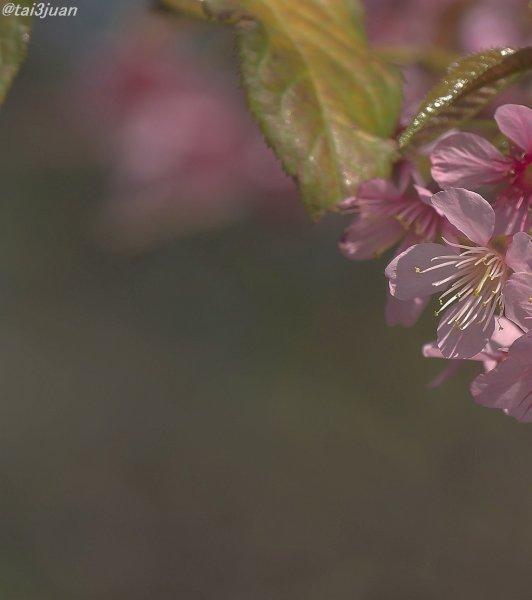 桜満開だぁ~~ヽ(' ∇' )ノ